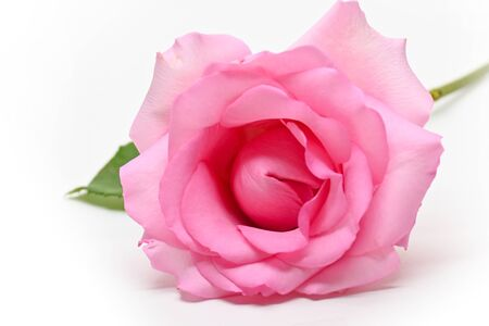 beautiful pink rose flower isolated on white background 스톡 콘텐츠