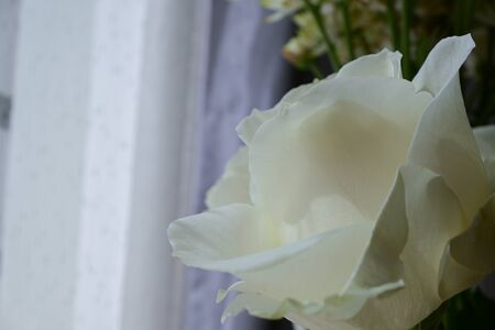 beautiful white rose flower blossom in the morning day Фото со стока