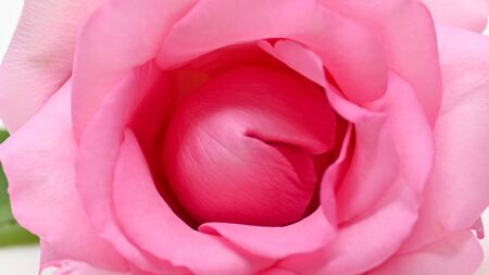 beautiful pink rose flower, concept image of couple sexual orgasm