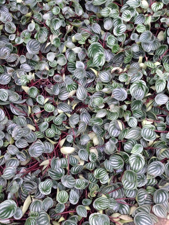ground cover: Ground cover plant