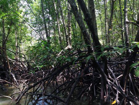 mangrove: Mangrove forest