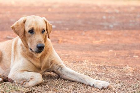 golden: Dog Golden