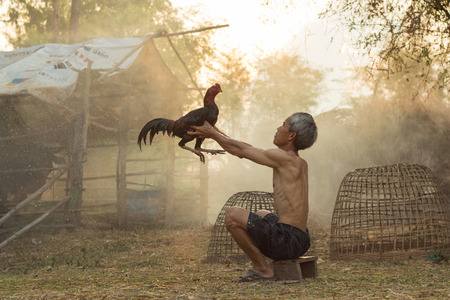 tradional: The man with cock fighting Is a way of life in the popular East. And current Gamecock sports are very popular. Make Money with fixation on fighting sports.