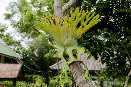 tropical native fern: Indian Staghorn FernDisk Staghorn Platycerium coronarium J.G. Koen.ex. Muell Desv. on tree Stock Photo