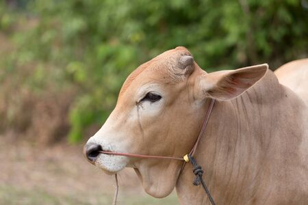 livestock sector: Red Cow Head Looking