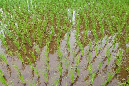 plots: The green Hom Mali Rice paddy plots.