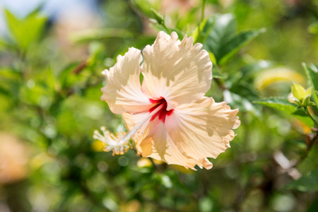 malvaceae: Hibiscus rosa-sinensis Is a flowering plant in the family Malvaceae currency Hibisceae native plants in East Asia.