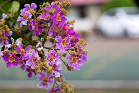 Inthanin or Lagerstroemia speciosa tree A species commonly found in the lowlands and along the banks of the creek in moist mixed deciduous and evergreen.
