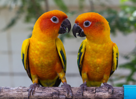 the two parrots: Two Parrots Conure on perch Stock Photo