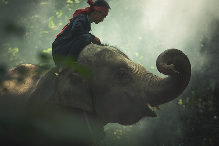 mahout: Asia,Elephant with mahout in wildlife