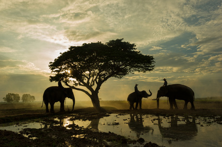 mahout: Elephant and mahout gther under big tree in the sunrise