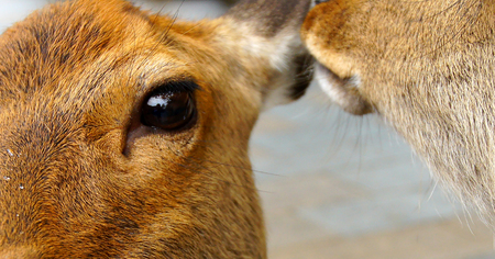 synchronously: Close up   Eye deer