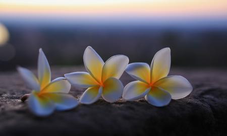 Plumeria Flower or Champa flower of Laos.