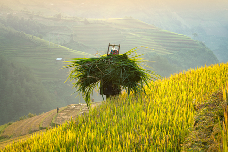Vietnam,The back farmers Carrying on his grass and walking on the rice terraces.