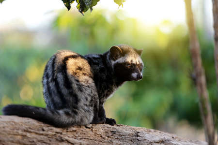 Civet Cat in Coffee  plantation Stock Photo