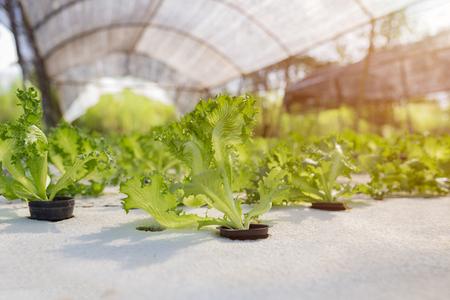 Ensalada de vegetales hidropónicos en granja Foto de archivo
