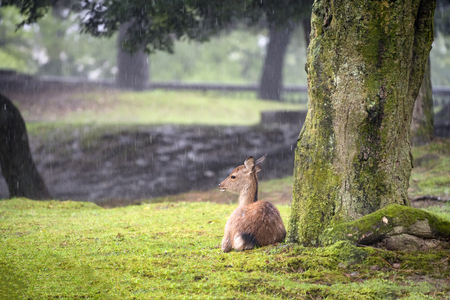 Deer in the park of Nara. Japan 写真素材