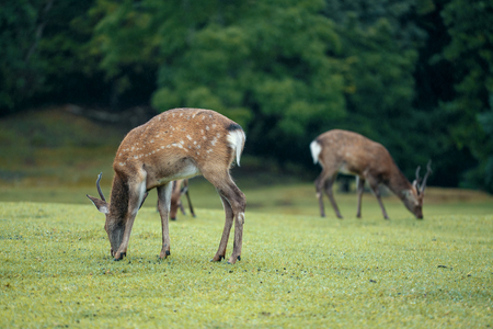 Deer in the park of Nara. Japan during the rainy season 写真素材
