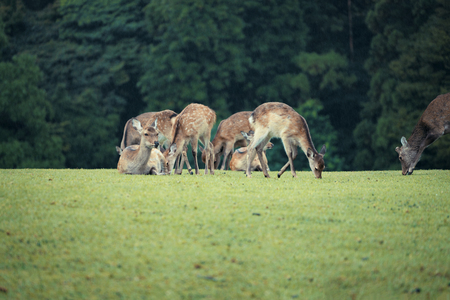 Wildlife deer in Nara Park Nara Prefecture Japan.
