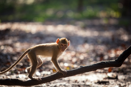 Monkey walks on a branch in wildlife