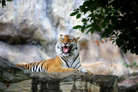 Bengal tiger action in the zoo 写真素材