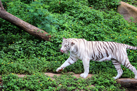 White tiger walking in the forest along the stream.