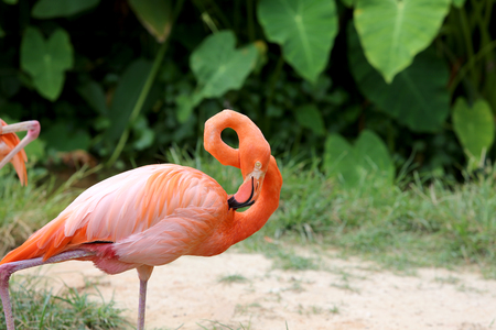 Flamingo close up shot It is large bird with beautiful colors. 写真素材