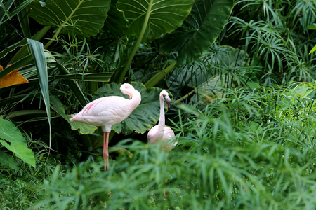 Two flamingo birds standing in green wild it the beautiful of nature.