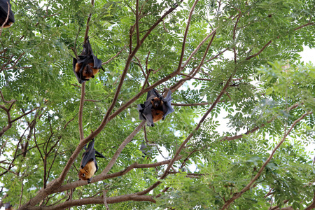 Lyles flying fox or Bat fruit at Ang Thong Thailand. 写真素材