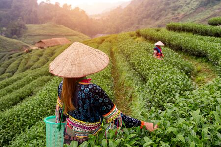 Green tea harvest of Hmong people in tea field at Chiang Mai Thailand. Stock Photo