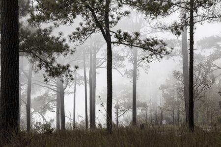 Silhouette The pine tree in foggy National Park Phu Kradeung Thailand. Banco de Imagens