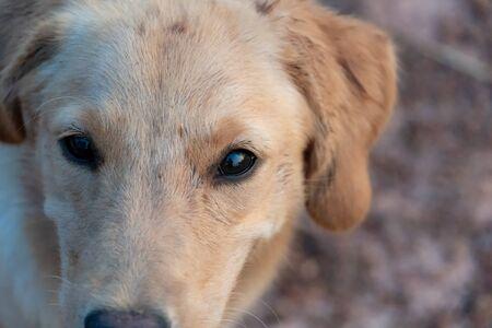 Golden Retriever dog looking camera