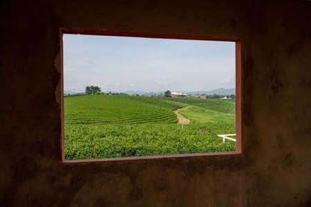 Tea field in the frame, Tea plantation Chiang Rai, Thailand.