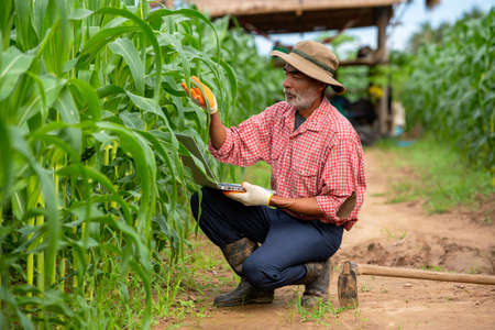 Farmers use a laptop to check the quality corn leaf in the corn field