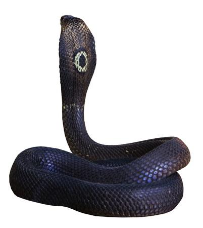 serpiente cobra: El rey cobra un fondo blanco