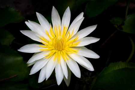 The blooming beautiful lotus white petal yellow pollen flower on black background Imagens