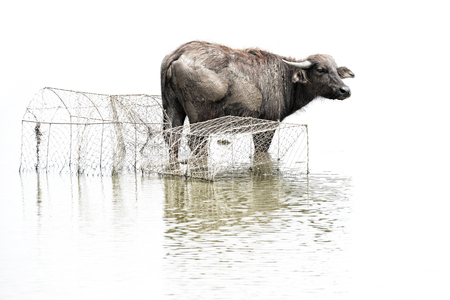 black buffalo,water buffalo in Southern of Thailand isolated on white background