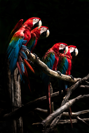 Scarlet macaw  beautiful bird isolated on branch with black background.macaw birds in zoo at Chiang Mai, Thailand
