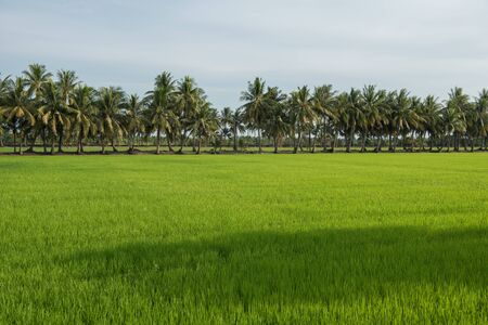 Rice field and coconut tree scenery in countryside of Thailand