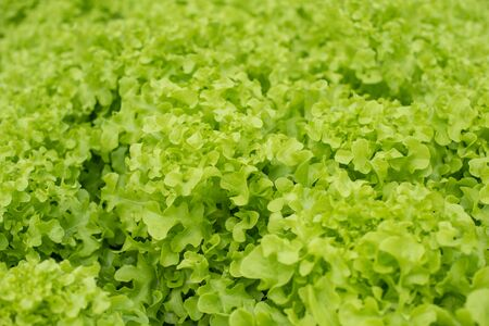 Top view of salad vegetable texture. Green salad leaves.