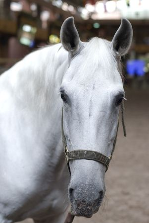 white horse Stock Photo - 7069958