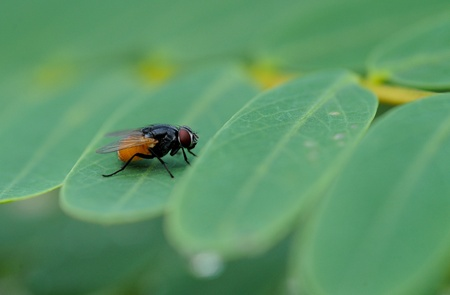musca domestica: housefly on leaf