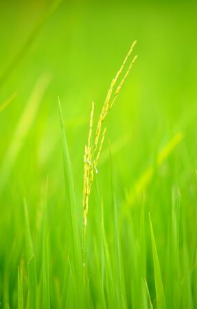 paddy field: Rice field