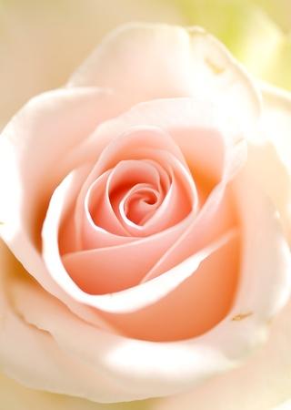 pink rose macro photo