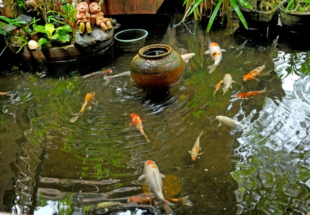 koi fish pond: Koi fishes in japanese garden