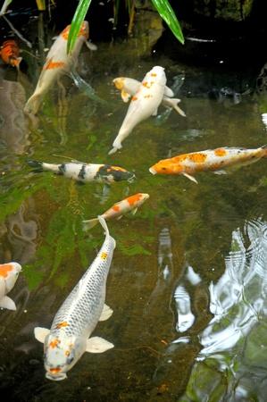 koi pond: koi fish