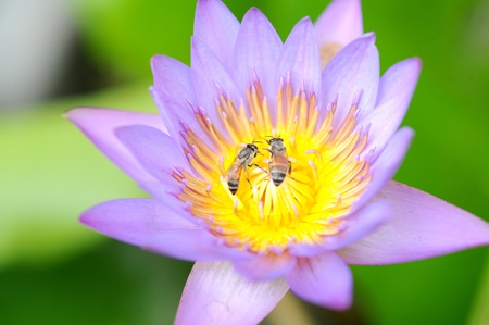 Bees in Lotus Flower Stock Photo - 10913193