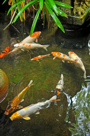 Koi fishes in japanese garden Stock Photo - 11919167