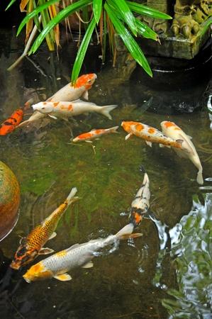 ornamental fish: Pesci koi nel giardino giapponese Archivio Fotografico