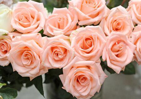 Rose Stock Photo - 14558816